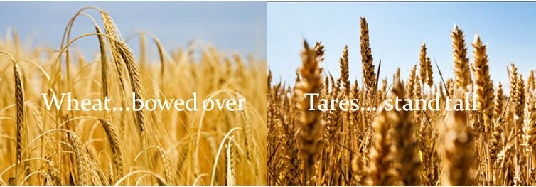 To cut down the wheat and tares and then they will be sorted out